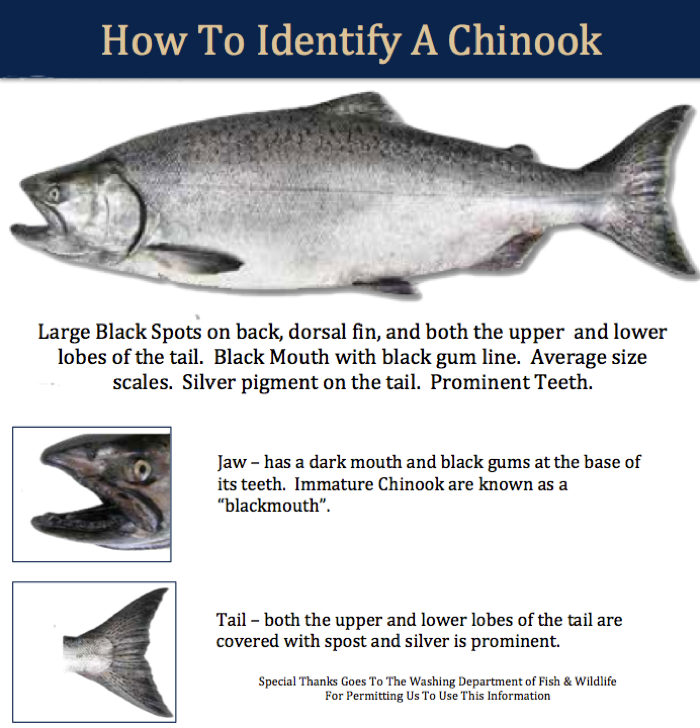 Roaring fork guide service chinook salmon roaring fork for Chinook salmon fishing