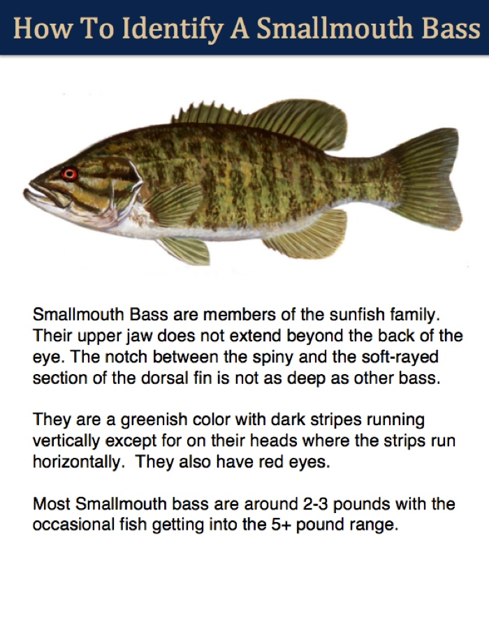 smallmouth bass identifier